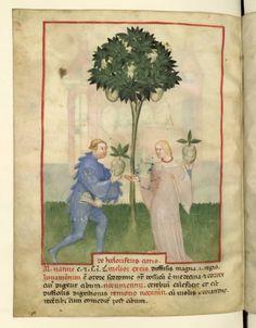 Nouvelle acquisition latine 1673, fol. 82v, Récolte des cédrats. Tacuinum sanitatis, Milano or Pavie (Italy), 1390-1400.  Keywords: red necklace