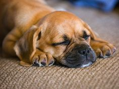 I will own a puggle named Humphrey Bogart...Boggie for short :)