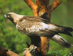 Postcrossing - Card with a Golden Eagle in a tree. Sent by a Postcrosser in Belarus Golden Eagle, Animals Beautiful, Eagles, Bald Eagle, Birds, Nature, Tambourine, Finland, Flora