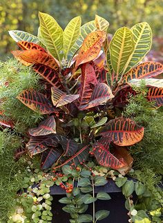 Best Foliage Plants for Containers: Every container needs a couple of foliage plants. You can't beat the long-lasting impact and easy care! Here are 11 of the best foliage plants for containers. Shade Plants Container, Container Gardening, Urban Gardening, Tall Plants, Foliage Plants, Tall Flowers, Green Flowers, Perennial Grasses, Perennials