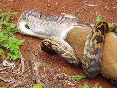 A snake swallowing a kangaroo whole.