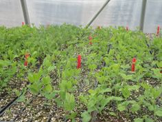 May 20th, 2014. Lots of sweet peas on the go in the greenhouse this spring! Looking forward to getting them outside.