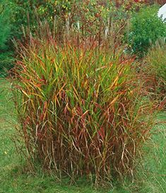 Purpurascens Flame Grass