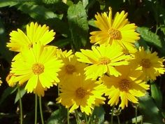 Lance-Leaf Coreopsis,( Coreopsis lanceolata). is a steady and colorful wildflower that is a long-time favorite of meadow gardeners. Legendary for being hardy and very easy to grow.