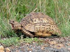 Leopard Tortoise - Habitat, Behavior, Breeding, Pictures and Other Information Tortoise Table, Baby Tortoise, Giant Tortoise, Reptiles And Amphibians, Mammals, Tortoise Pictures, Kawaii Turtle, Tortoise Habitat, Young Animal