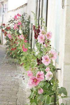 Raindrops and Roses Love Flowers, Beautiful Flowers, Country Cottage Garden, Raindrops And Roses, Hollyhock, Garden Care, Dream Garden, Garden Inspiration, Beautiful Gardens