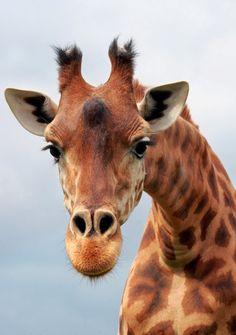 earth-song:    Portrait of giraffeby=sschukina