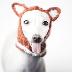 Charcik włoski w czapce  #italiansighthound #italiangreyhound #sighthound #iggy #iggylove #tongue #fox #hat #fashion #levretka #charcikwloski #chartbeat #polska #czapka #charcik #animalphotography #dog #piccololevrieroitaliano #funny #sweetface