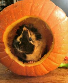 I see your pumpkin rabbit so here's my guinea pig Juno in a pumpkin http://ift.tt/2e3EfPm