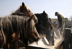 A worker feeds horses at their farm in Babchin.The farm is located near the radiation eco...