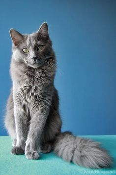 Omg this is spot on to my Smokey! Looks like we might have a nebelung kitty!