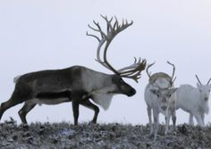 Reindeer at the Cairngorm Reindeer Centre. Picture: Ian Rutherford