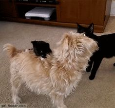 Kitten Wants A Piggy Back | Gif Finder – Find and Share funny animated gifs