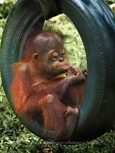 Sitting in a Tire but Im a Live Wire - Monkeys Funny - Sitting in a Tire but Im a Live Wire Primates, Cute Funny Animals, Cute Baby Animals, Funny Monkeys, Nature Animals, Animals And Pets, Baby Orangutan, Chimpanzee, Photo Animaliere