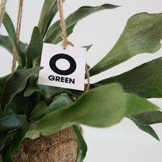 Ogreen Hertshoorn Plant kopen? Bestel bij fonQ
