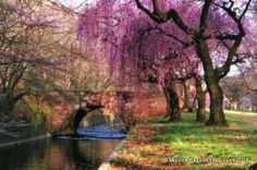 cherry blossoms in Branch Brook Park, Newark, NJ Photo taken in 1999.