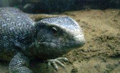 African Savannah Monitor #lizard #reptile