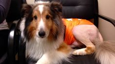 Ollie the Collie, who suddenly became paralyzed not long ago, was about to be euthanized when a veterinary intern discovered a tick in his ear.