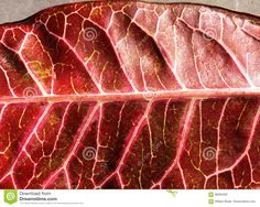 Photo about A closeup detailed image of the electric looking veins of a rubber tree leaf that has turned red. Image of nature, vein, abstract - 98584262 Rubber Tree, Tree Leaves, Detailed Image, Close Up, Stock Photos, Texture, Patterns, Red, Surface Finish