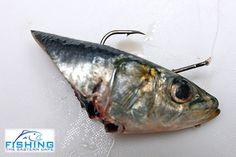 Sardine head bait.