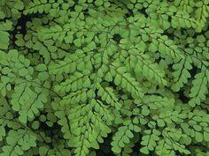 Medium-Sized Plants for Shade