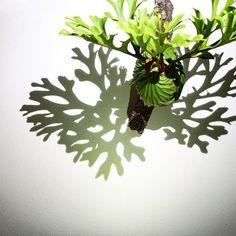 2016/12/07 . 夜リドレイ! . #ridleyi #platycerium #staghornfern #staghornferns #polypodiaceae #fern #green #plants #indoorplants #NoFilter #リドレイ #ビカクシダ #コウモリラン #wl_record