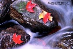 Autumn Maple Leaves on Rocks in Stream, Gatineau Park, Quebec Wildlife Wallpaper, Canadian Wildlife, Canadian Nature, Long Shadow, Seasons Of The Year, Canada Day, Autumn Leaves, Maple Leaves, Autumn Fall