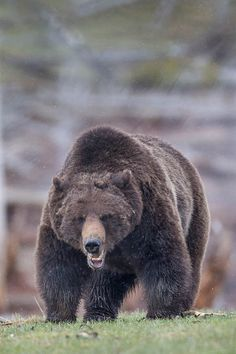 Roaring Grizzly Bear Wildlife Photography Fine Art by RobsWildlife