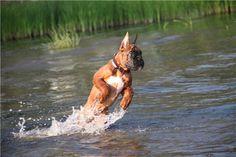#Boxer #breed Boxer Breed, Boxer Dogs, Boxers, Doggies, Best Dog Breeds, Best Dogs, Scampi, Snuggles, Fur Babies