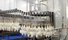 In België worden elk jaar minstens 10 miljoen kippen slecht of onverdoofd geslacht. Dat komt doordat er problemen zijn met de elektrische verdoving...