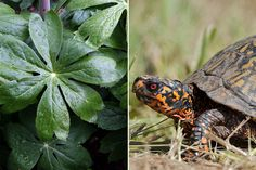 Mayapples produce fleshy fruit whose seeds germinate with help from box turtles. Click to see more from this online Opinion feature. (Photos: Suzanne DeChillo/The New York Times, left; Douglas W. Tallamy, right)