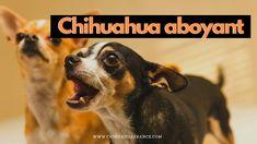 Chihuahua Miniature, Le Chihuahua, Chihuahuas, Dogs, Animals, Miniatures, Midget Man, Butterflies, Animales
