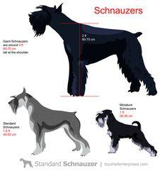 Standard-Schnauzer-size