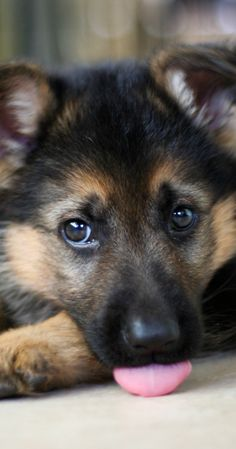 very charming gshep puppy :):)