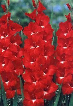 """Comprar Gladíolos """"Traderhorn"""" (Gladiolus x hortulanus) na Toca do Verde!"""