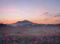 Shirley poppies bloom in a field near Japan's Mount Tsukuba, here silhouetted against an early morning sky. The mountain—which can be ascended via a hiking trail or cable car—has two peaks, each rising more than 2,800 feet.