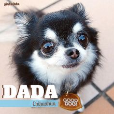 Have you met Dada the long-haired Chihuahua? #dogs #chihuahua