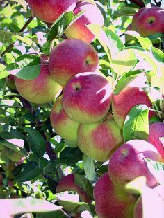 Image detail for -pick me pick me fall air brings apple picking did
