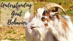 Goat Behavior Making Sense of Your Goats - 15 Acre Homestead Raising Goats, Behavioral Issues, Goat Farming, Environmental Education, Teaching Biology, Back To Basics, Stem Activities, Life Science, Homesteading