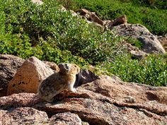Six Cute Animals Listed as Endangered Species ---- American Pika