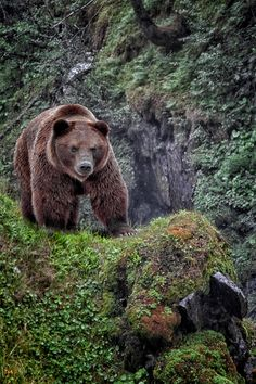 Brown bear in a mossy canyon.