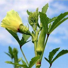 100+ Okra Clemson Spineless Vegetable Seeds , Under The Sun Seeds