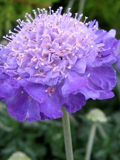 Scabiosa 'Mariposa Violet' Pincushion Flower - Blooms spring to fall.   Zones 4-8