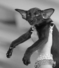 Fashion model kitteh looks elegant frum ebery camera angle.