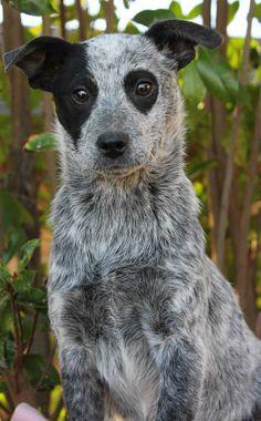Australian Cattle Dog (Blue Heeler), Love those eyes!!