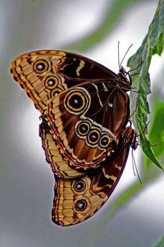 24 Beautiful Butterflies and Moths - meowlogy Papillon Butterfly, Art Papillon, Butterfly Kisses, Butterfly Wings, Blue Butterfly, Beautiful Bugs, Beautiful Butterflies, Amazing Nature, Beautiful Creatures