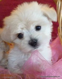 Too Cute and Oh So Sweet... Malti-poo for Adoption 8 1/2 weeks old...