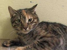 SAFE! TO BE DESTROYED 5/19/14 ** BABY ALERT!! Reace interacts with the Assessor, solicits attention, is easy to handle and tolerates all petting. ** Manhattan Center  My name is REACE. My Animal ID # is A0999503. I am a female calico and brn tabby domestic sh mix. The shelter thinks I am about 6 MONTHS old.  I came in the shelter as a STRAY on 05/12/2014 from NY 10457,