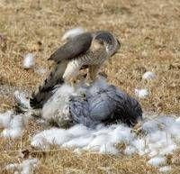 Chicken predators hawk