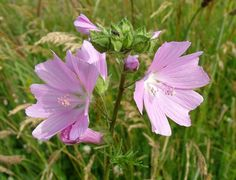Host plant for a butterfly garden - mallow - attracts common hairstreak and checkered skipper